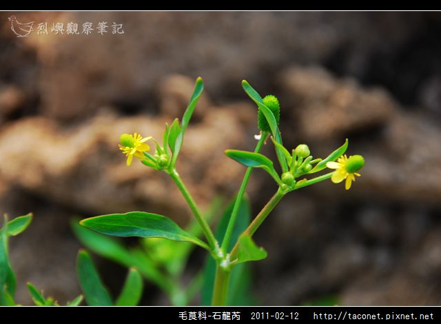 毛莨科-石龍芮_08.jpg