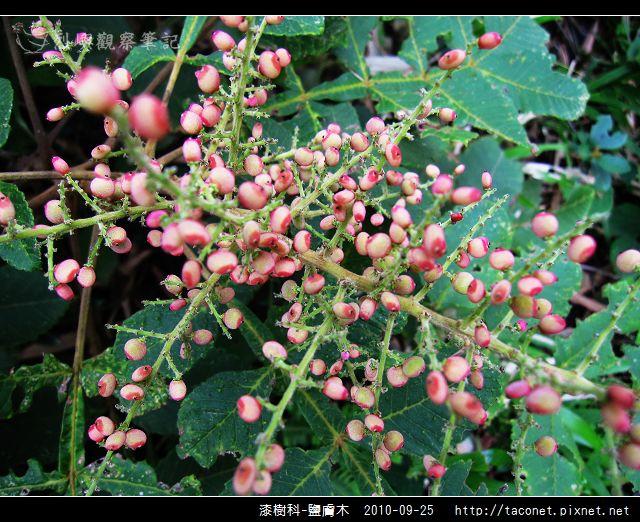 漆樹科-鹽膚木_04.jpg