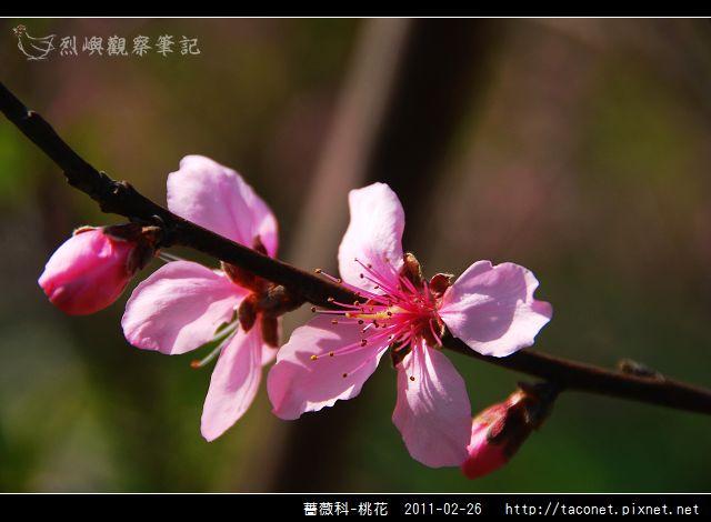 薔薇科-桃花_19.jpg