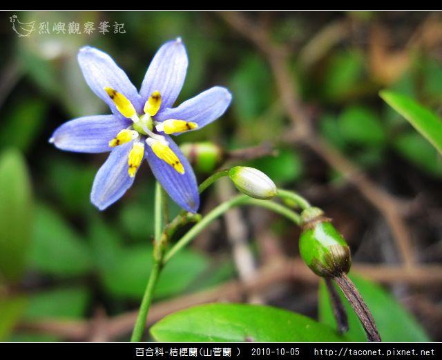 百合科-桔梗蘭_08.jpg