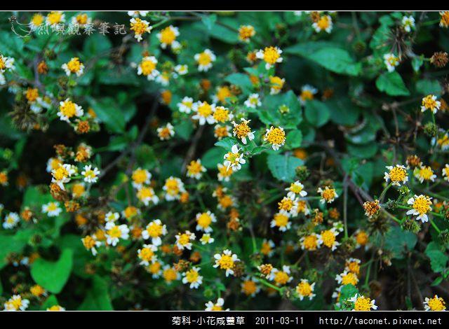 菊科-小花咸豐草_02.jpg