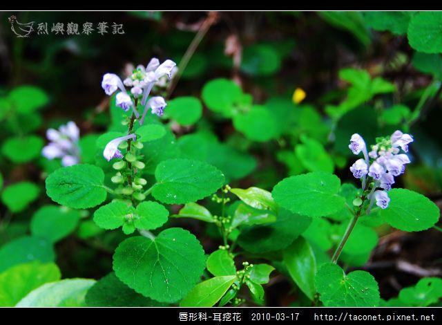 唇形科-耳挖花_03.jpg