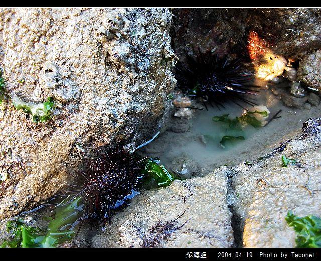 紫海膽_06.jpg