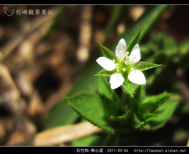 石竹科-無心菜_09.jpg
