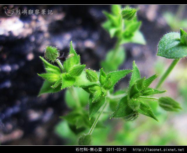 石竹科-無心菜_03.jpg