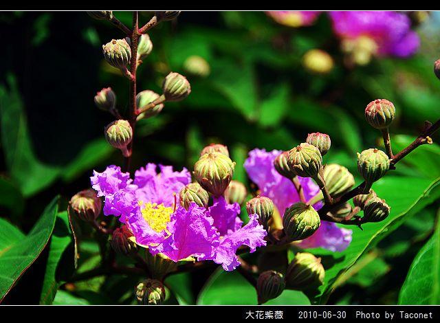 大花紫薇_07.jpg