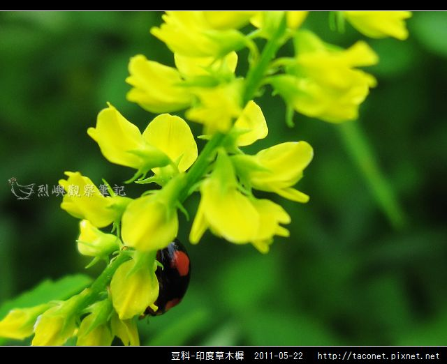 豆科-印度草木樨_20.jpg
