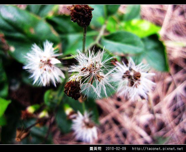 蔓黃菀_05.jpg