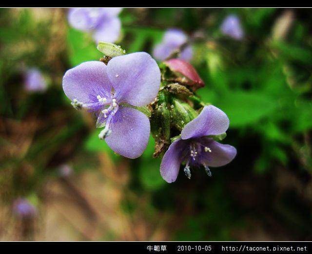 牛軛草_09.jpg
