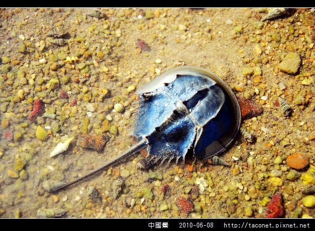 中國鱟_01.jpg