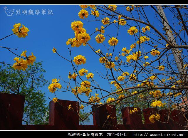 紫葳科-黃花風鈴木_17.jpg