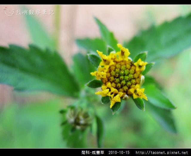 菊科-咸豐草_10.jpg