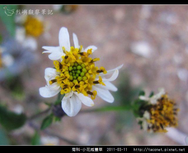 菊科-小花咸豐草_08.jpg