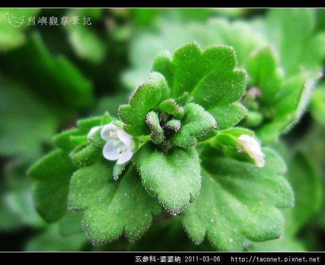 玄參科-婆婆納_09.jpg