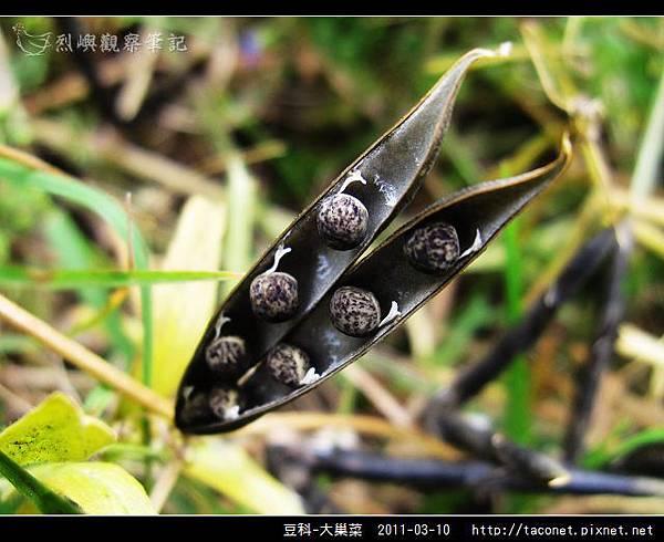 豆科-大巢菜_14.jpg