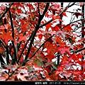 槭樹科-槭樹_05.jpg