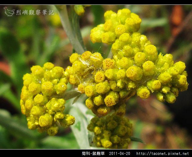 菊科-鼠麴草_05.jpg