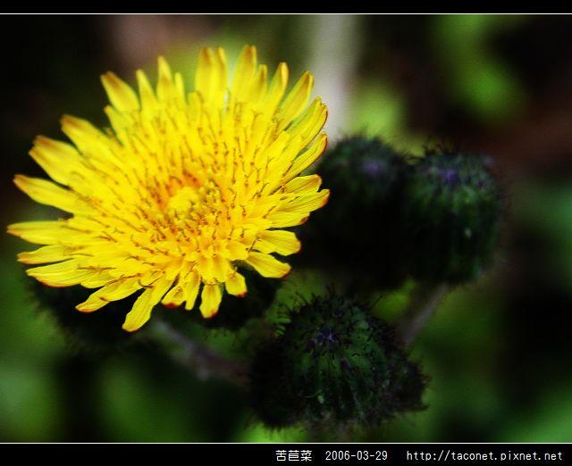 苦苣菜_08.jpg