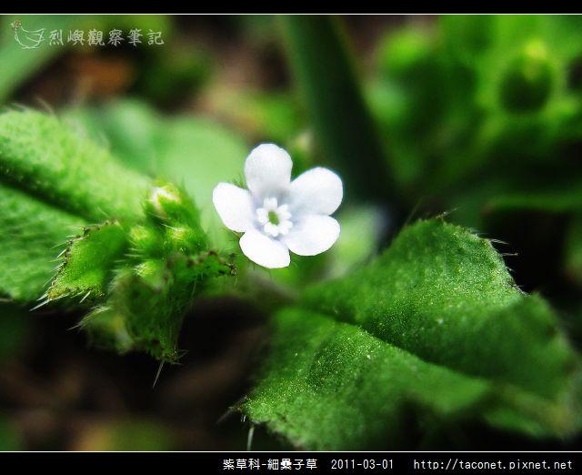 紫草科-細纍子草_06.jpg