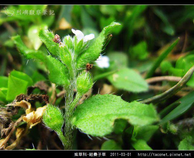 紫草科-細纍子草_05.jpg