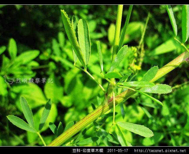 豆科-印度草木樨_17.jpg
