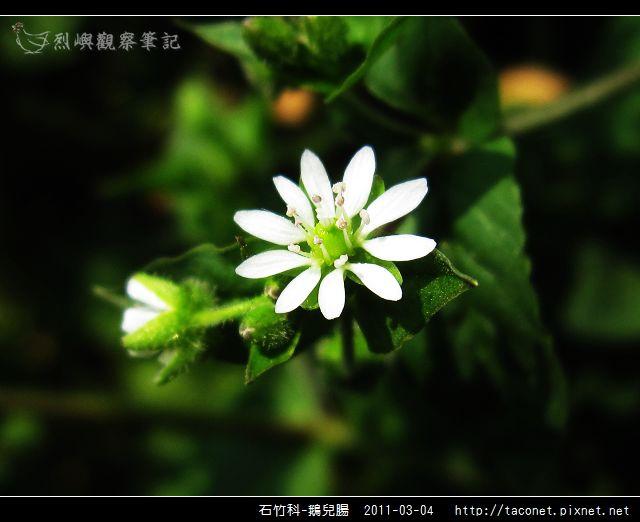 石竹科-鵝兒腸_14.jpg