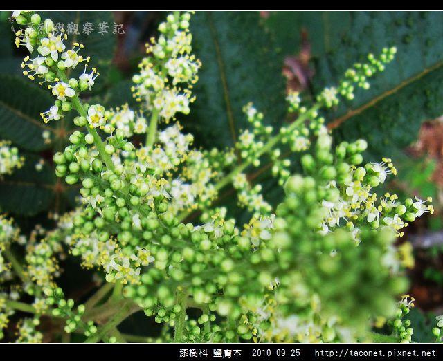 漆樹科-鹽膚木_07.jpg