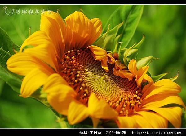 菊科-向日葵_30.jpg