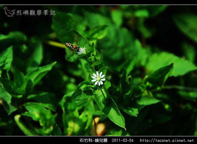 石竹科-鵝兒腸_13.jpg