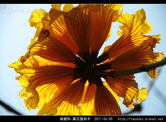 紫葳科-黃花風鈴木_10.jpg