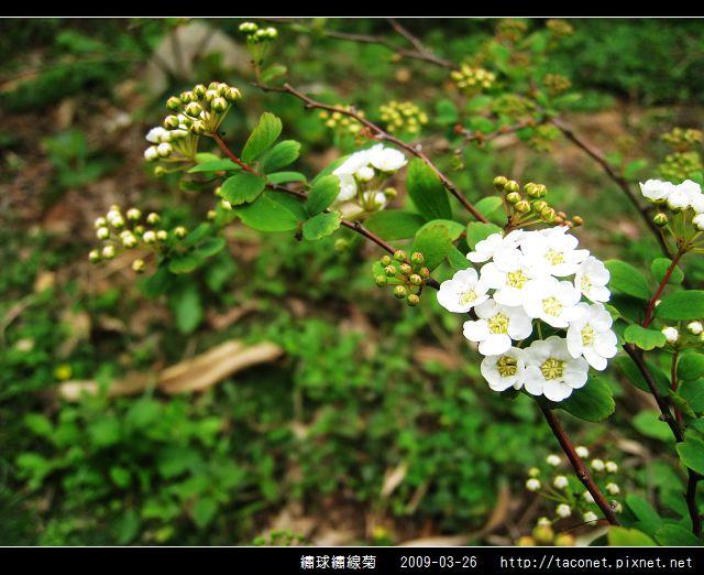 繡球繡線菊_09.jpg