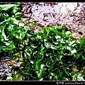 牡丹菜_05.jpg