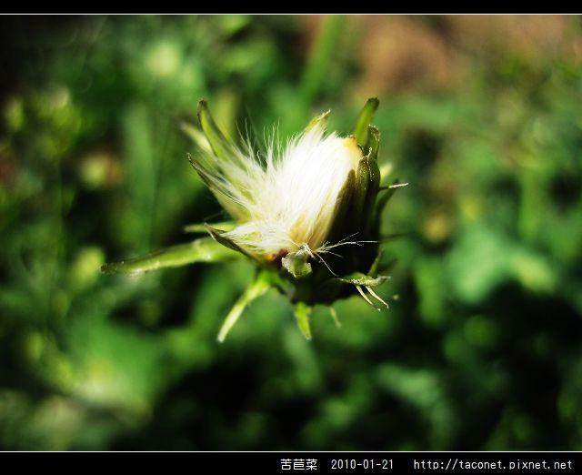 苦苣菜_11.jpg