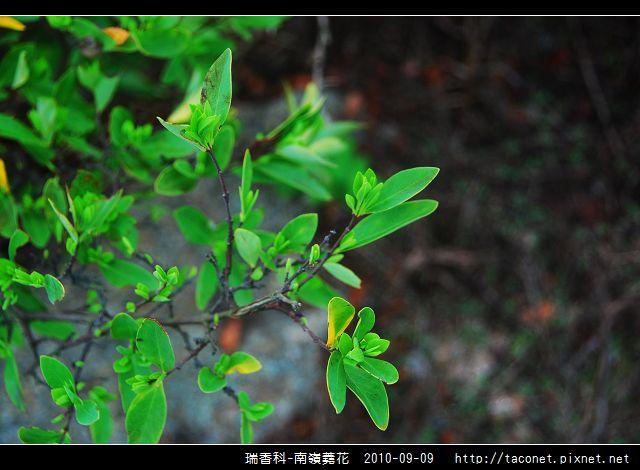 瑞香科-南嶺蕘花_01.jpg