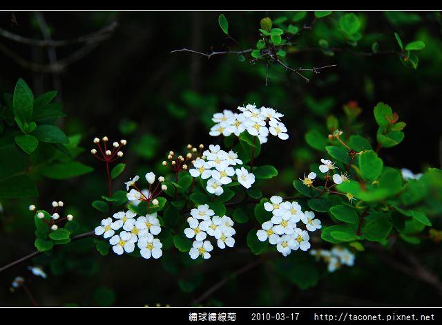 繡球繡線菊_02.jpg