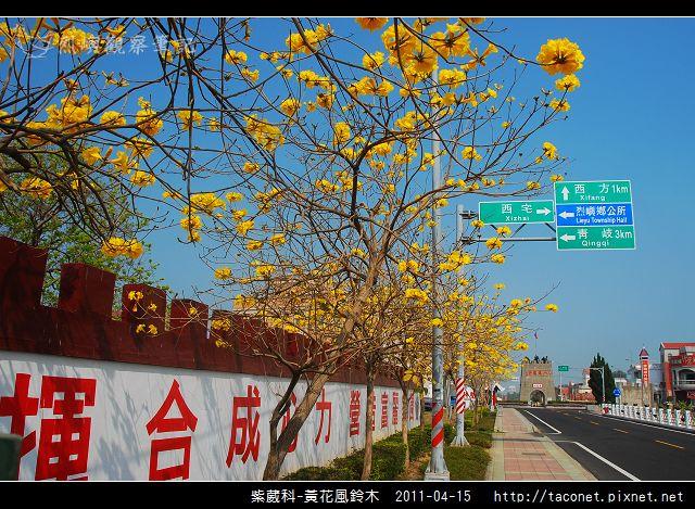 紫葳科-黃花風鈴木_19.jpg