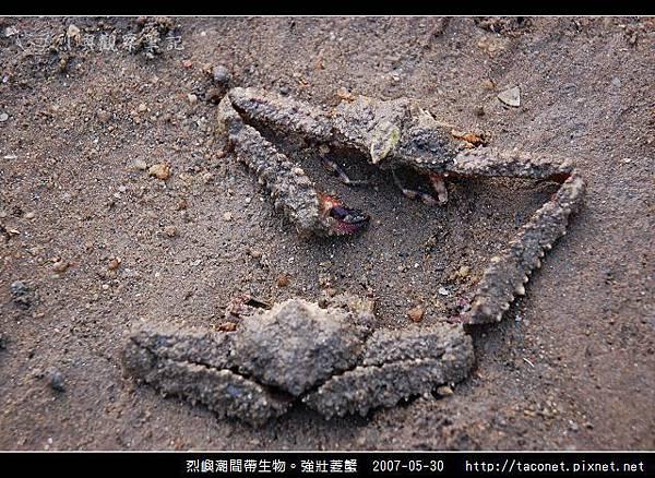 強壯菱蟹_07.jpg