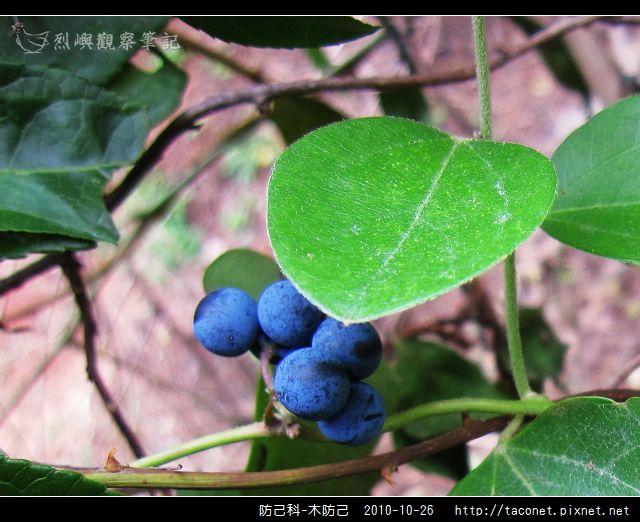 防己科-木防己_06.jpg