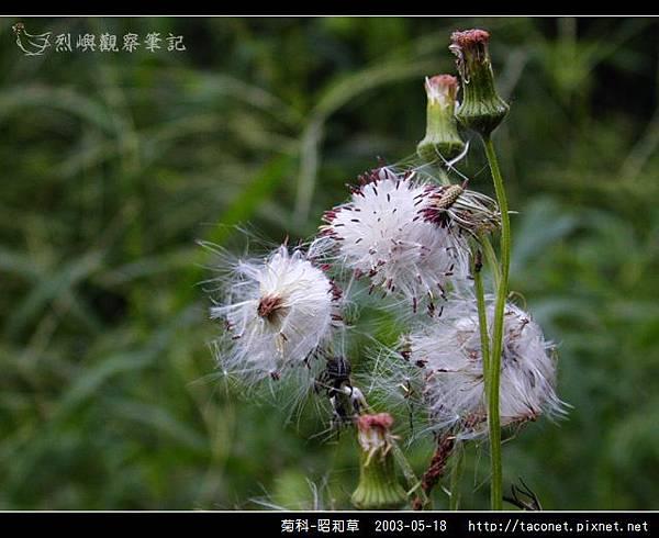 菊科-昭和草_04.jpg