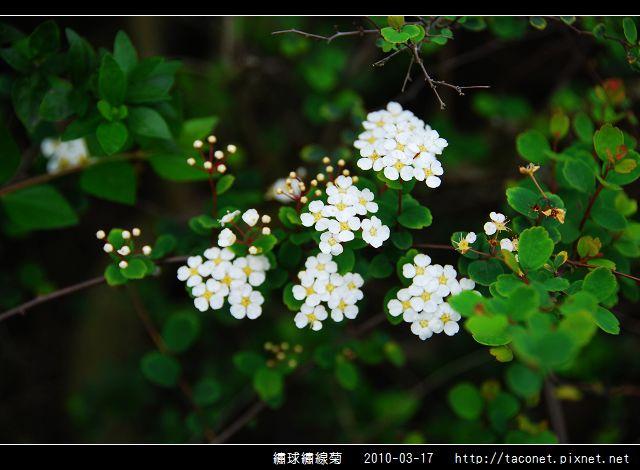繡球繡線菊_03.jpg