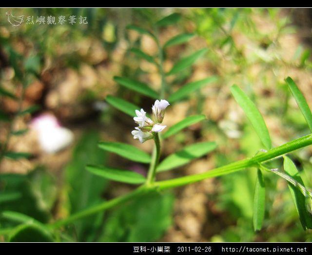 豆科-小巢菜_05.jpg