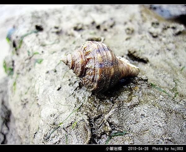 小皺岩螺_05.jpg