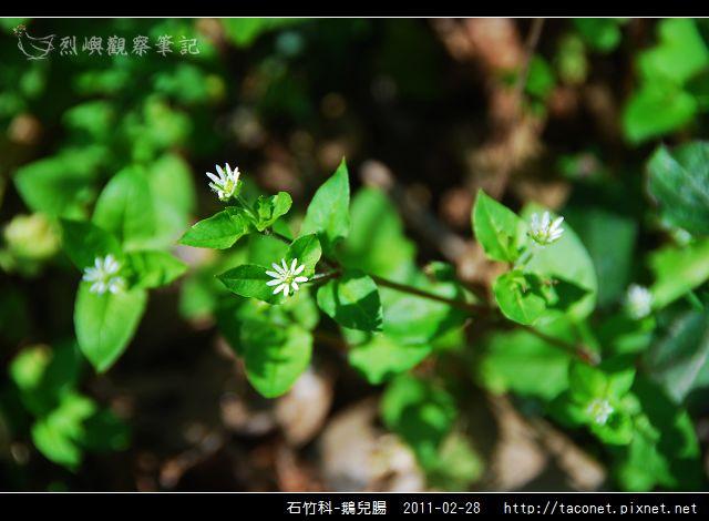 石竹科-鵝兒腸_12.jpg