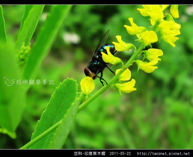 豆科-印度草木樨_18.jpg