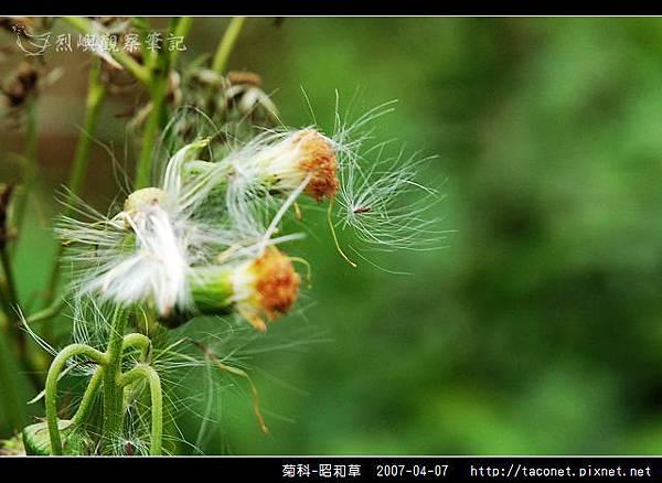菊科-昭和草_05.jpg