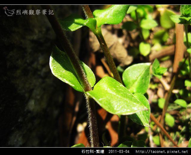石竹科-繁縷_17.jpg