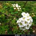 繡球繡線菊_06.jpg