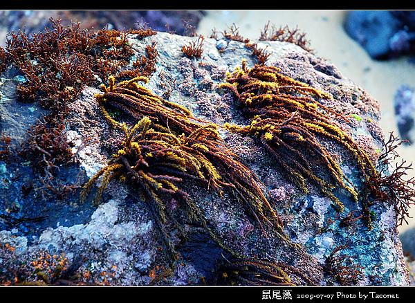 鼠尾藻_02.jpg