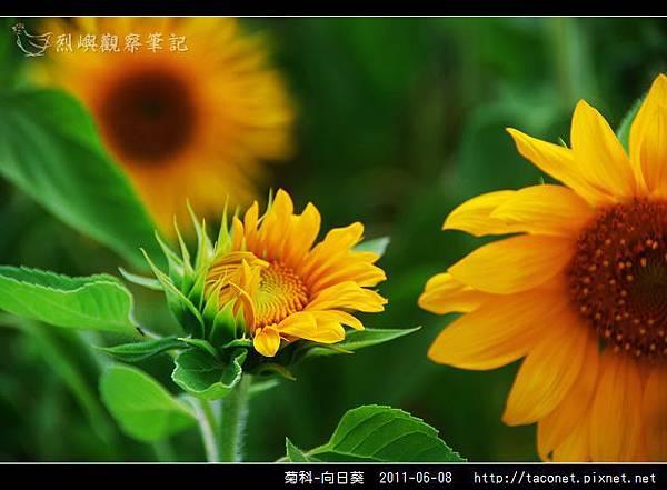 菊科-向日葵_15.jpg