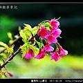 薔薇科-山櫻花_04.jpg